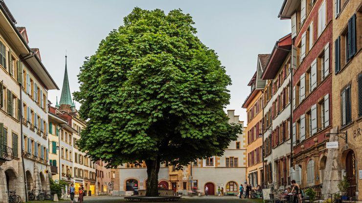 Vue sur le majestueux arbre au centre de la rue Haute en Vieille Ville de Bienne